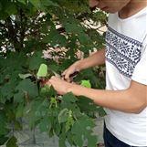 种植蔬菜绑枝机 西红柿绑蔓机价格